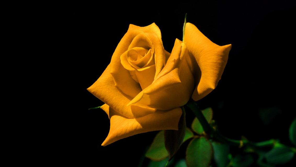 hořčicový květ